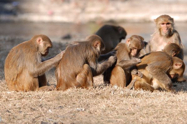 Rhesus_Macaque_Monkeys_Scratching_Backs_600